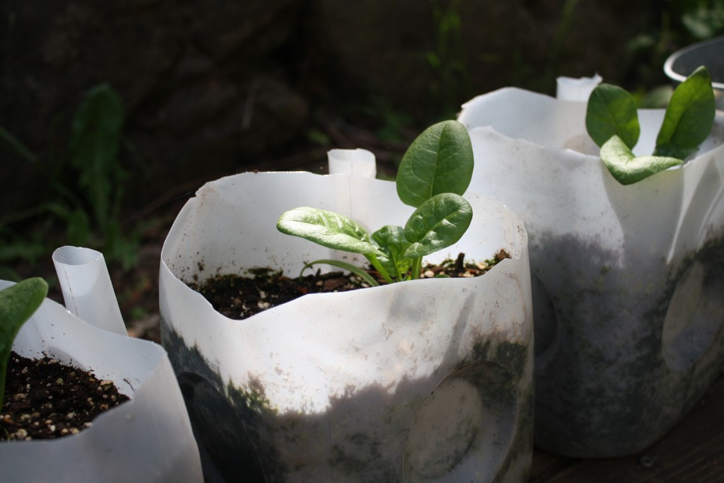 spinach seedlings growing in repurposed milk cartons