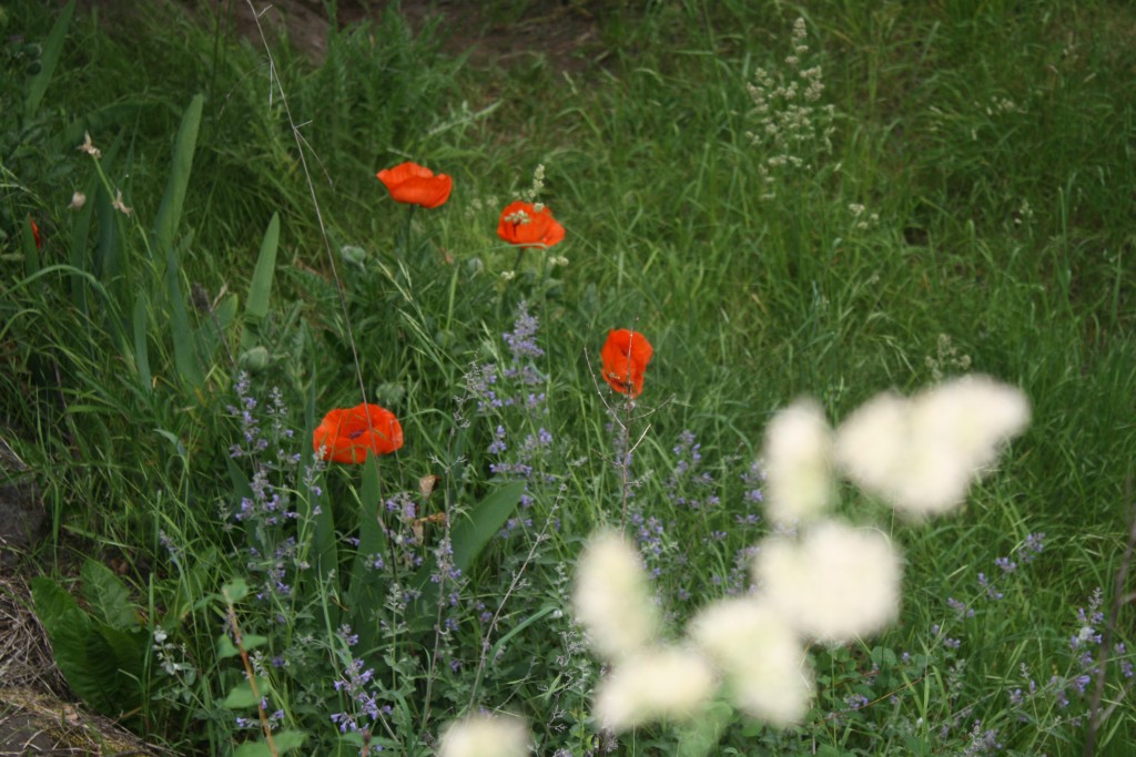 flowers and tall grasses in my yard