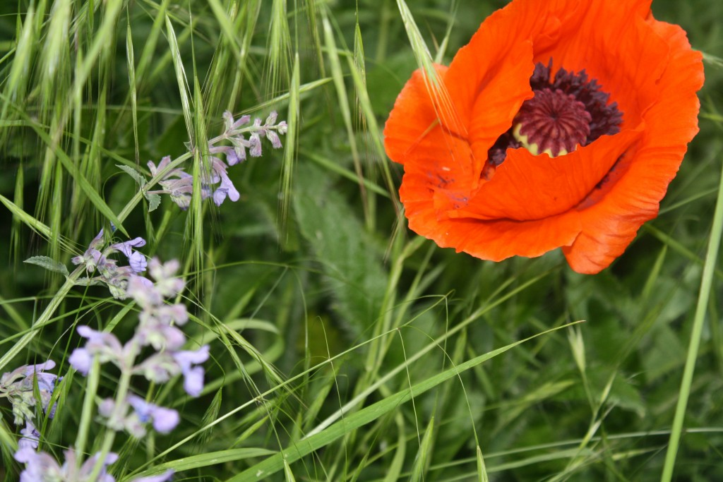 red poppy and various grasses in my chaotic yard